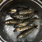 アマゴ釣り実釣(奈良)。先行者圧倒的有利というお話